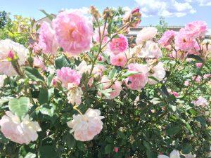 Une Rose Une Caresse Jardins MIP